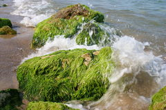 marin- alger arkivfoton