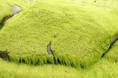 Marin- alger med grön mossa Royaltyfria Foton