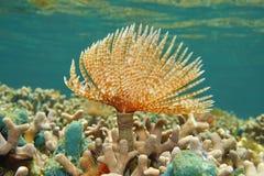 Marin- avmaska Sabellastarte magnifica på korallreven Arkivbilder