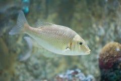 Marin- fisk Arkivbild