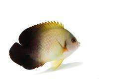 marin- fisk för Halva-svart ängel på vit bakgrund Arkivfoton