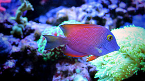 Marin- fisk i marin- akvarium Arkivbild