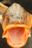 Marin- fisk med en öppen mun, Norge arkivbild