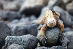 Marin- leguan och Galapagos finch Arkivbilder