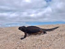 Marin- leguan på galapagos öar Arkivbild
