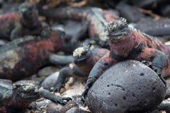 Marin- leguaner - Isla Espanola, Galapagos Fotografering för Bildbyråer