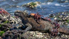 Marin- leguaner sitter på stenarna samman med krabbor galapagos öar Stillahavs- hav ecuador Fotografering för Bildbyråer