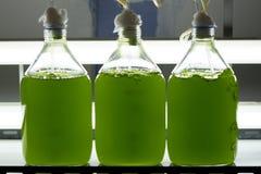 Marin- planktonkultur i vetenskapligt laboratorium arkivbild