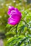 Marin root or peony (lat. Paeonia anomala ) Stock Photography