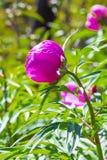 Marin root or peony (lat. Paeonia anomala ) Royalty Free Stock Photo
