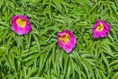 Marin root or peony lat. Paeonia anomala Stock Photos