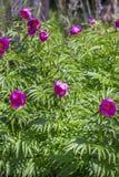 Marin root or peony (Paeonia anomala) Stock Photos