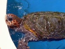 marin- sköldpadda Royaltyfri Bild