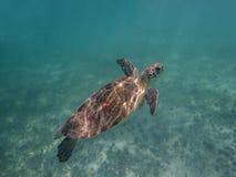Marin- sköldpadda Arkivfoto