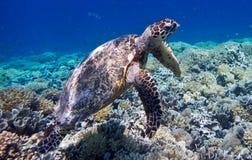 Marin- sköldpadda på Gili Meno, Indonesien Arkivbilder