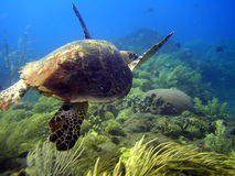 marin- sous tortue Royaltyfri Foto