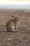 Light brown rabbit standing. MARINA DI MASSA, ITALY - AUGUST 22 2015: light brown rabbit standing in a park through pine needles Stock Photo