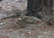 Light brown rabbit standing in a park. MARINA DI MASSA, ITALY - AUGUST 22 2015: light brown rabbit standing in a park through pine needles Stock Photography