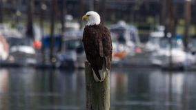 Marina eagle. Bald eagle perched on a piling giving it a great vantage point to watch over the harbour royalty free stock photography