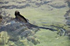 Marina Iguana die in het overzees zwemmen stock fotografie