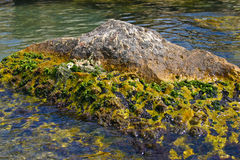 Marine algae Stock Photography