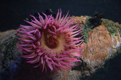 Marine anemone. An anemone in the aquarium Stock Photography