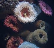 Marine anemone Stock Photo