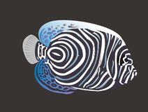 Marine angelfish. On shallow reefs Royalty Free Stock Photography