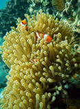 Marine animal Clownfish and sea anemones. Colorful clownfish (Amphiprioninae) hiding among the tentacles of a sea anemone. Marine animal Stock Image