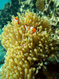 Marine animal Clownfish and sea anemones. Colorful clownfish (Amphiprioninae) hiding among the tentacles of a sea anemone. Marine animal Stock Images