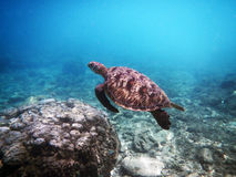 Marine animal Green Turtle Flying Royalty Free Stock Photography
