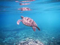 Marine animal Green Turtle Flying Stock Photo
