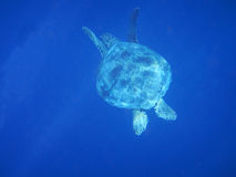 Marine animal Green Turtle Flying fishes Royalty Free Stock Photography
