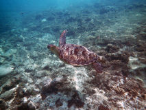 Marine animal Green Turtle Flying over coral Stock Image