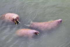 Marine animals in ocean walrus Royalty Free Stock Images