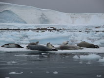 Marine animals rest in Antarctica Stock Images