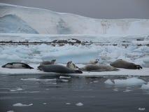 Marine animals rest in Antarctica Stock Images