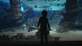 Marine animals in zoo, silhouette of kid boy examines fish and stingrays in big oceanarium with undersea world in clear stock video