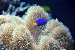 Marine Aquarium with a blue fish Stock Photography