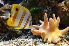 Marine for aquarium fish. Chelmon rostratus Coperband butterfly stock image