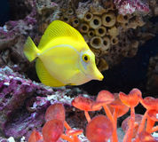 Marine aquarium fish fox Royalty Free Stock Photos