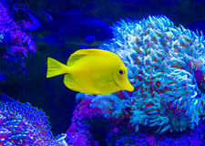 Marine aquarium fish fox Royalty Free Stock Photo