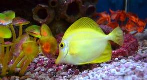 Marine aquarium fish fox Stock Images