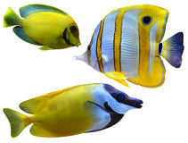 Marine aquarium fish Stock Image