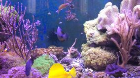 Marine aquarium full of tropical fishes and plants. Reef tank filled with water for keeping live underwater animals. Clownfish and Actinia or Sea Flower stock footage