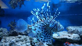 Marine aquarium - male lion fish Royalty Free Stock Image