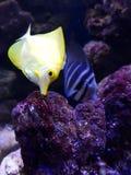 Marine Aquarium. Pair of fishes swim in an aquarium Stock Image