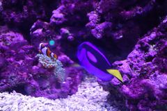 Marine aquatic life, clown fish and blue tang fish royalty free stock photos