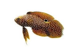 Marine Beta Fish Stock Photography