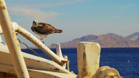 Marine Bird av rovfiskgjusen sitter på masten av pilbågen för skepp` s och defekerar mot bakgrund av Röda havet stock video